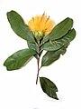 Stifftia chrysantha003.jpg