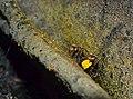 Stingless Bees (Tetrigona binghami) (15060329054).jpg
