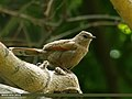 Streaked Laughingthrush (Trochalopteron lineatum) (22751877973).jpg