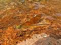 Stream Glory Female from Valparai Anamalai hills P1120033.JPG