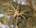 Stream spider.jpg