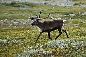 Strolling reindeer.jpg