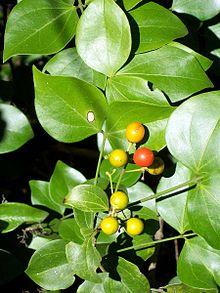 Strychnos Psilosperma Wikipedia