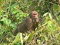 Stump tailed Macaque P1130751 06.jpg