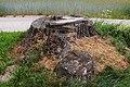 Stumpf der ehem. geschützten Linden bei Gradnitz 2014-06.jpg