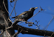 Sturnus vulgaris (feral) at Randwick.jpg