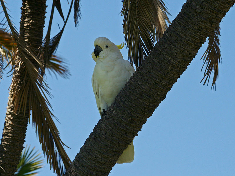 File:Sulpher-crested Cockatoo RWD2.jpg