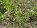 Summer-flowering Impala Lily (Adenium swazicum) (12011364096).jpg