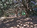 Sun-dappled yew woodland on Old Winchester Hill - geograph.org.uk - 189816.jpg
