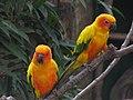 Sun parakeets sun conures (7987433269).jpg