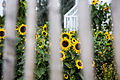 Sunflowers behind the fence (16895154888).jpg