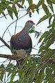 Superb fruit-dove at Tomohon (2).JPG