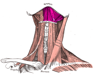Suprahyoid muscles - Muscles of the neck. Anterior view. Hyoid bone is white horizontal line near top. Infrahyoid muscles are below hyoid, while Suprahyoid muscles are labeled above.