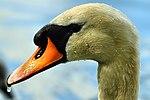 Swan - Stanborough Lakes (17583800689).jpg