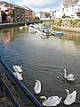 Swans at Scotch Quay, Waterford - geograph.org.uk - 484733.jpg