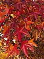 Sweetgum (Liquidambar styraciflua) in Mellon Park, Pittsburgh 03.jpg