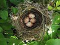 Sylvia atricapilla eggs.jpg