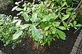 Synsepalum dulcificum-Jardin botanique de Berlin (3).jpg