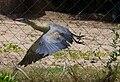 Syrigma sibilatrix -Punta del Este, Uruguay-8c.jpg