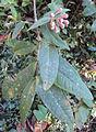 Sysygium munronii.jpg