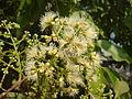 Syzygium cumini Flower 1.JPG
