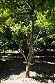 Syzygium racemosum (Syzygium javanicum) - Fruit and Spice Park - Homestead, Florida - DSC09084.jpg