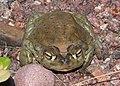 TOAD, SONORAN DESERT (Bufo alvarius) (8-6-13) 78 circulo montana, patagonia lake ranch estates, scc, az -02 (9466157166).jpg