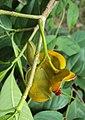 Tabernaemontana alternifolia 20.JPG