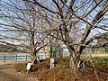 Takarakuji-zakura Cherry Trees on southwest bank of Shikinawaike Pond.JPG