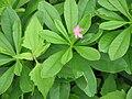 Talinum fruticosum1.JPG