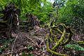Tangled tree roots Neroberg.jpg