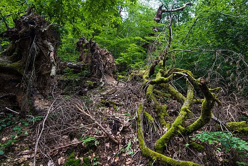 Tangled tree roots Neroberg