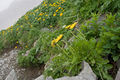Taraxacum alpicola var. shiroumense 03.jpg
