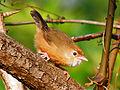 Tawny-bellied Babbler (Dumetia hyperythra) Photograph By Shantanu Kuveskar.jpg