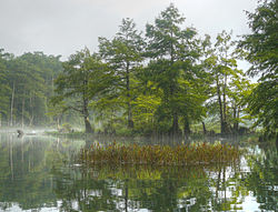 Taxodium distichum Lower Mt Fork River Oklahoma 2.jpg