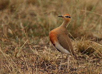 Temminck's courser - Image: Temminck's courser Cursorius temminckii