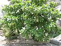 Terminalia catappa - Indian Badam 06.JPG