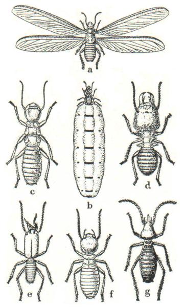 File:Termites diverses.png