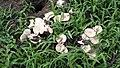 Termitomyces clypeatus 388422.jpg