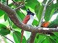 Terpsiphone paradisi. Indian paradise flycatcher 2.jpg