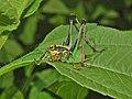 Tettigoniidae - Eupholidoptera chabrieri-1.JPG