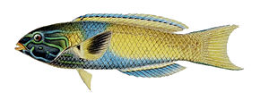 Description de l'image Thalassoma lutescens.jpg.