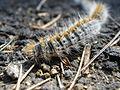 Thaumetopoea pityocampa larva.jpg
