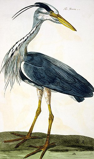 """Peter Mazell - """"The Heron"""" engraved by Peter Mazell from painting by Peter Paillou. In The British Zoology, Class II: Birds (1761–1766) by Thomas Pennant."""