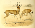 The book of antelopes (1894) Gazella dorcas.png