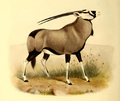 The book of antelopes (1894) Oryx gazella.png
