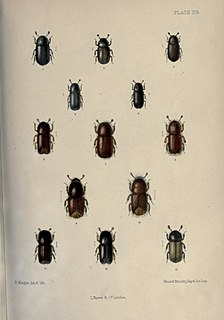 <i>Dryocoetes villosus</i> species of insect