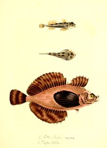 The zoology of Captain Beechey's voyage (Plate 15) (6915613216).jpg