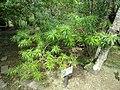 Thevetia peruviana - Sankyo Garden - DSC01249.JPG