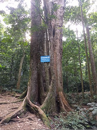 Cúc Phương National Park - Thousand year old tree